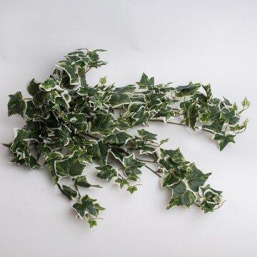 Куст плюща крупный с бело-зелеными листьями